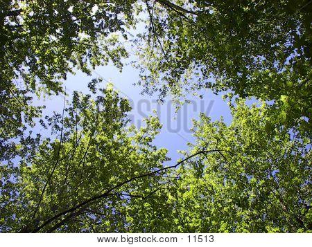 Treetops In Sunlight