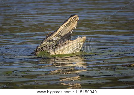 American Alligator Eating An American Coot - Florida