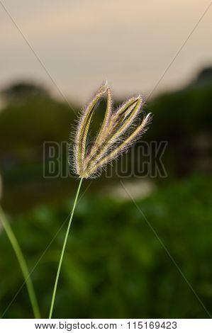 Swollen finger grass