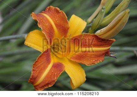 Hemerocallis hybride Frans Hals