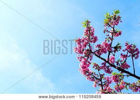 Spring Sakura Cherry Blossom with blue sky