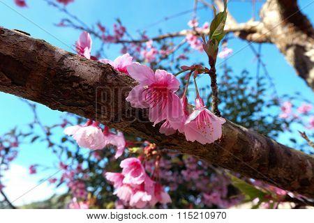 Beautiful Sakura Cherry Blossom In Morning