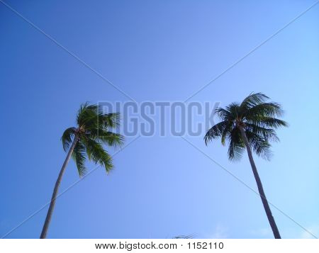 Two Coconut Trees With Lots Of Copyspace