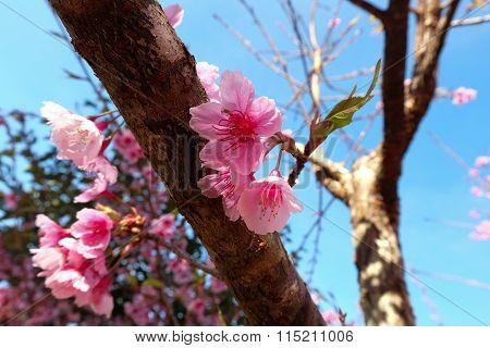 Beautiful Spring Sakura Cherry Blossom with blue sky