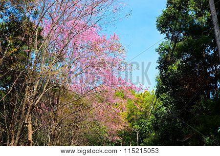 Cherry blossom on road at Chiang Mai Sakura Thailand
