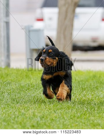 Gordon Setter puppy playing