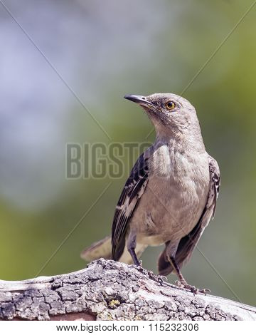 Mockingbird Perched on Tree Branch