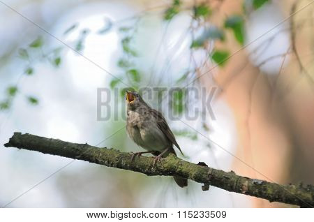 Singing Nightingale In Bright Spring Forest