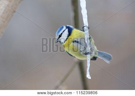 Blue Tit On Maple Sap Icicle
