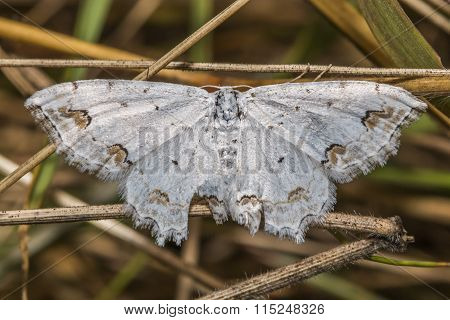 Lace Border (scopula Ornate)