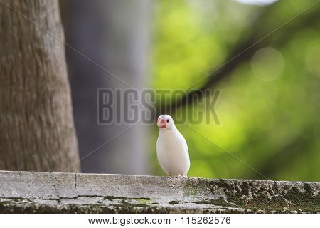 Small White Zebra Finch Standing On Roof