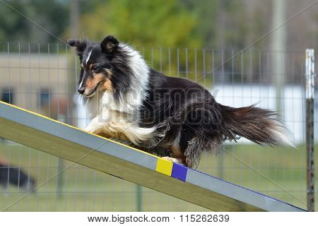 Tricolor Shetland Sheepdog (Sheltie) on a Teeter-Totter at Dog Agility Trial poster