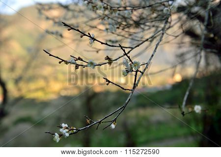 Plum blossom 3 playings