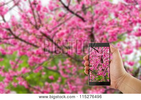 Travel Concept - Hand Holds Smartphone With Cut Out Screen And Wild Himalayan Cherry Flower On Backg