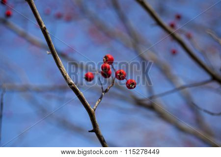 Winter Hackberries