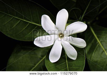 Tahitian frangipani