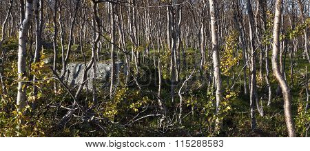 Young birch forest in the mountain.