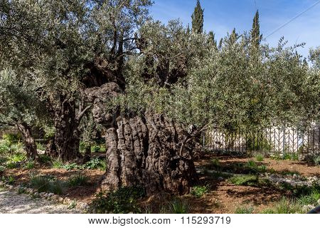 Old olive trees in the Garden of Gethsemane
