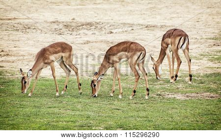 Eld's Deer (panolia Eldii), Beauty In Nature