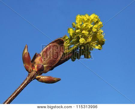 Flowering burgeon against blue sky