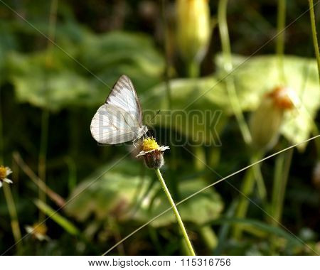 White Butterfly and Spanish needle flowers