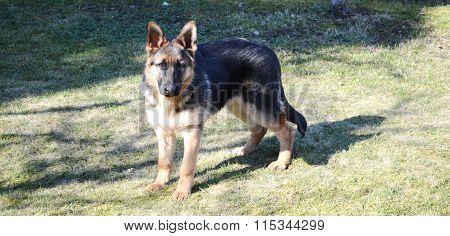 German Shepherd puppy in the green grass