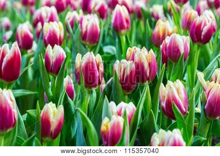 Tulips flower in the garden