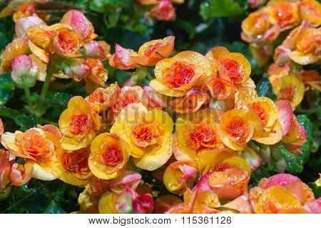 Beautiful Begonia blooming flowers in the garden