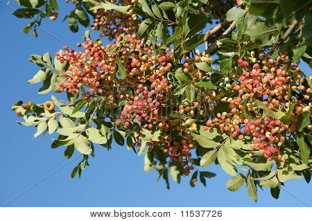 Tree With Red Fruits On A Background Of Blue Sky