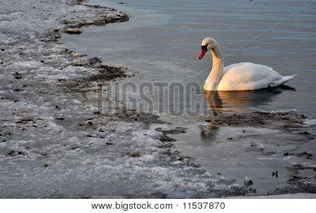 Svane på Roskilde Fjord, Danmark, vinter