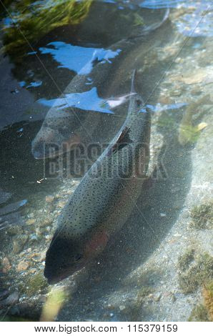 Big trout in the creek