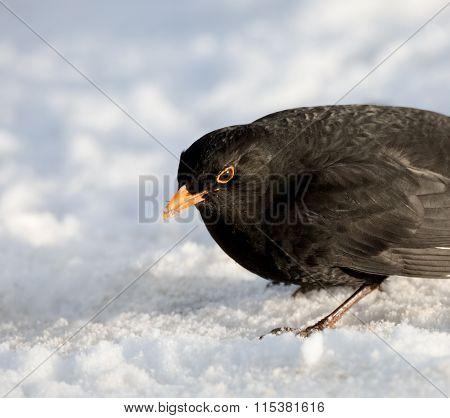 Male Common Blackbird on Snow