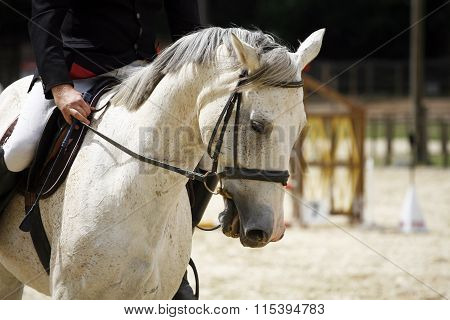 Grey Colored Stallion Canter With Rider