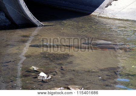 Carp in a Drainage Ditch
