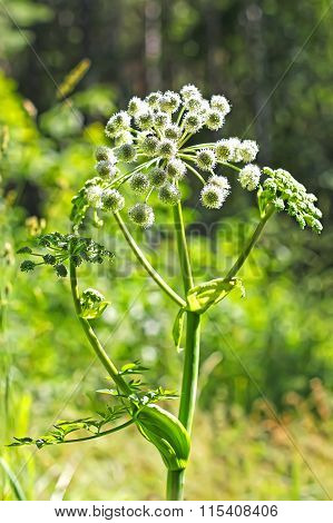 Angelica Forest, Or Woodland Angelica (angelica Sylvestris Latin)