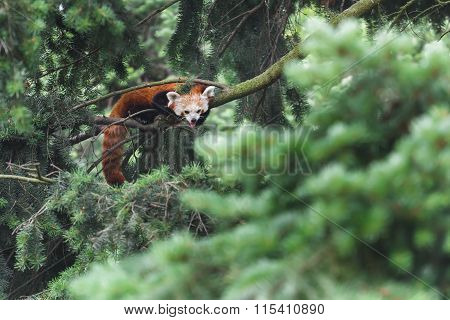 Endangered Red Panda Showing Its Tongue While Lying On Conifer Tree Branches