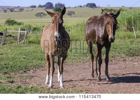 Couple mules on a far day