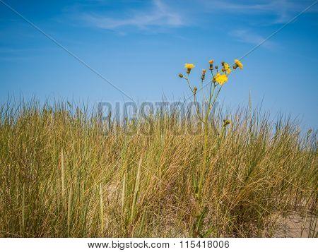 Wild flower at the sandy dunes