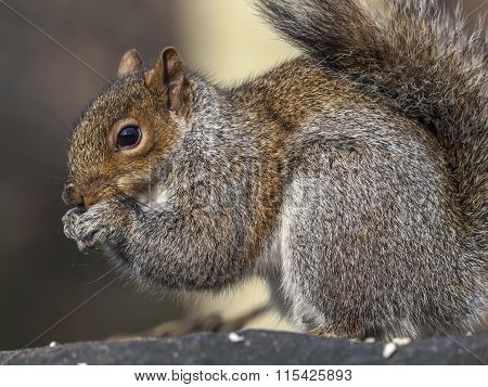 Sciurus Carolinensis, Common Name Eastern