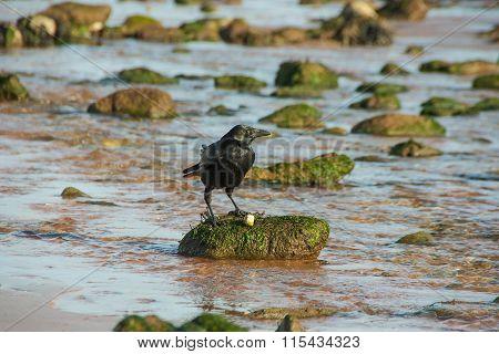 Black bird having breakfast on the beach