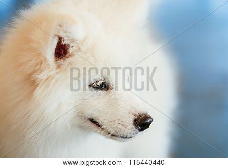 White Samoyed Dog Puppy Whelp