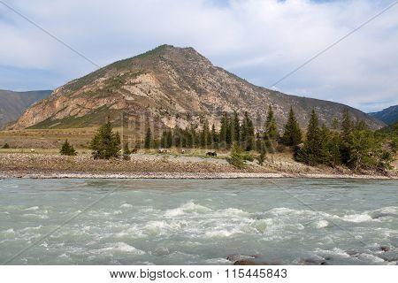 Mountain River Katun In Summer, Altai,russia