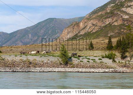Horses Near Mountain River Argut, Altai, Russia
