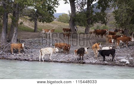 Cows Near Mountain River Katun, Altai, Russia