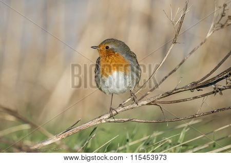 Robin redbreast Erithacus rubecula perched on a branch