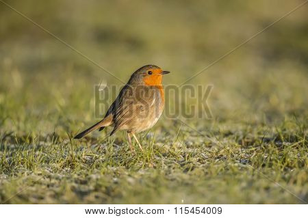 Robin redbreast Erithacus rubecula standing on the grass