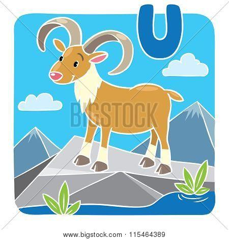 Funny wild urial or ram. Alphabeth U