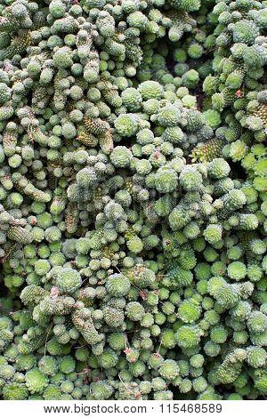 Small Nods Of Green Succulent Plant