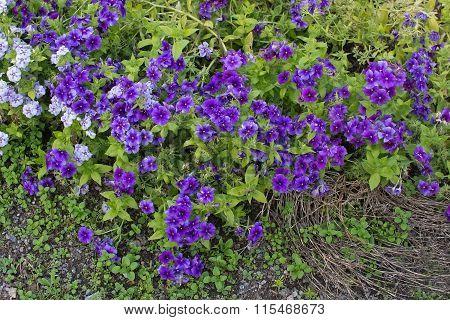 Purple And White Flowers Barrgilia