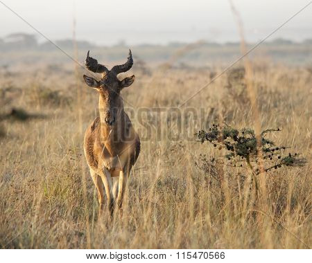 Hartebeest in Nairobi national park in early morning